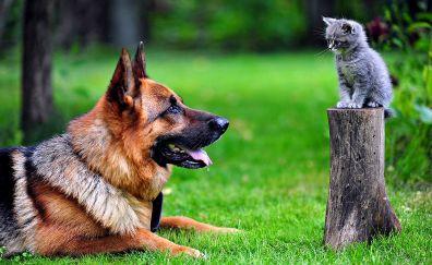 German shepherd Dog & cat in grass field