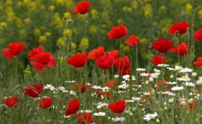 Poppy flowers, wild flowers, meadow, wild