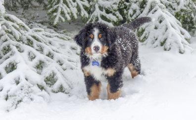 Bernese Mountain Dog, winter, snow, animal