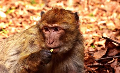 Barbary macaque, apes, monkey, wild animal