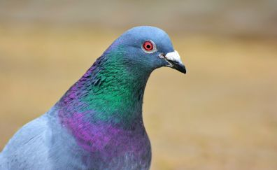 Pigeon, dove, colorful neck, bird