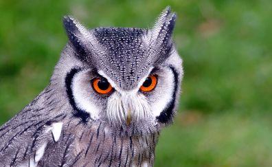 Northern white-faced owl bird, predator