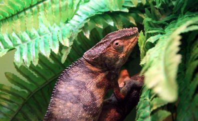 Panther Chameleon, lizards, reptiles