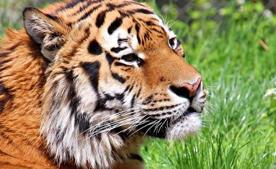 Tiger muzzle, predator, wild animal