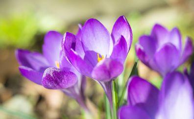 Crocus, beautiful flowers, spring