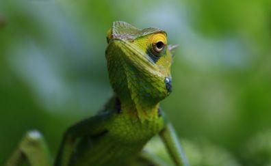 Chameleon, a green lizard