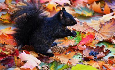 Cute black squirrel animal