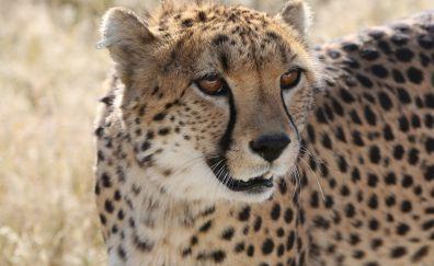 Cheetah, wild cat, wildlife