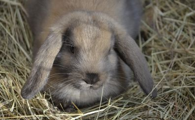 Dwarf rabbit rabbit in hay