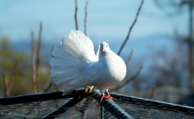 White dove, feathers, cute bird