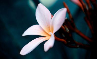 White Plumeria flower close up