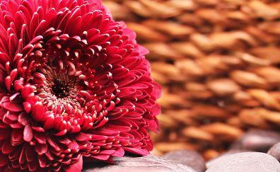Gerbera flower, bud, petals
