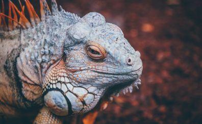 Iguana, lizard, reptile
