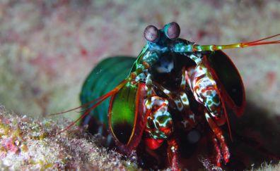 Mantis shrimp, Indian pacific ocean