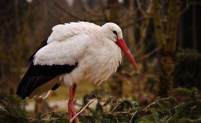 Stork, bird, long beak