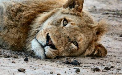 Lion, predator, relaxing