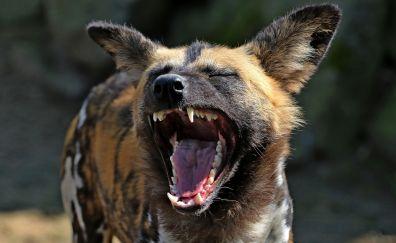 Hyena, yawn, wild animal