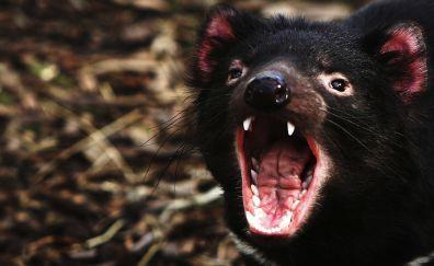 Angry Tasmanian devil, muzzle