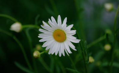 White daisy, plant, buds