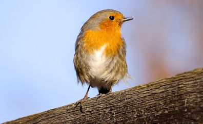 Robin, European robin, orange neck, bird