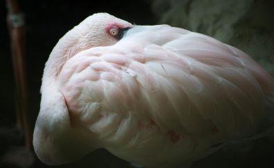 Flamingo, feathers, pink bird