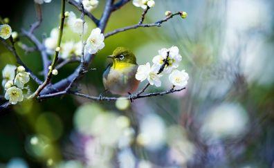 Japanese white-eye bird, flowers, tree branch