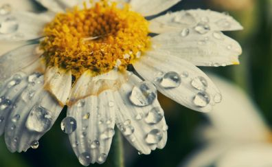 Daisy, water drops, flowers, close up