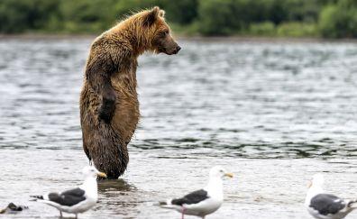 Standing bear, predator, gulls, birds