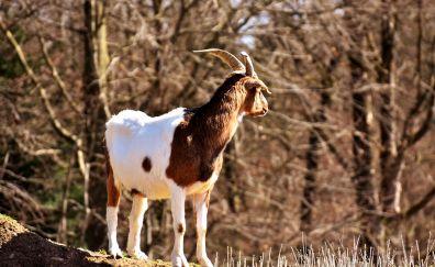 Billy, goat, animal, horns