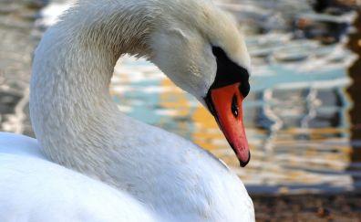 Swan bird muzzle, beak