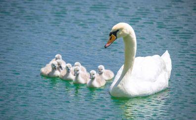 Swan, baby swan, birds, swim