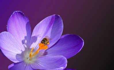 Crocus flower, bloom, bee, insect, close up