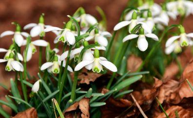 Snowdrop flowers, white flowers, dry leaf