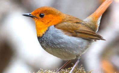 European Robin bird, close up, cute