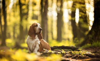 Basset Hound, dog, outdoor, sit