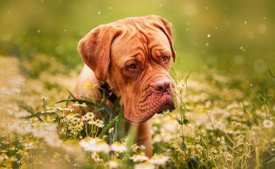 Dogue de Bordeaux, muzzle, pet, meadow, plants