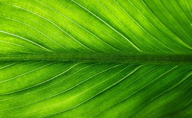 Leaf, veins, close up