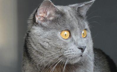 Chartreux cat, animal, muzzle