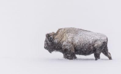 American bison, animal