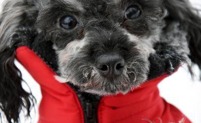 Poodle dog, furry dog, muzzle