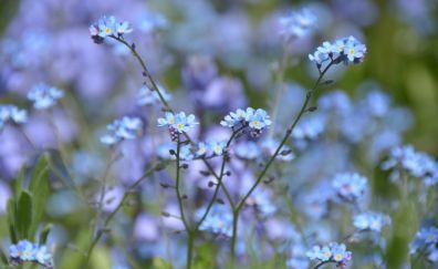 Myosotis, flowers field, meadow