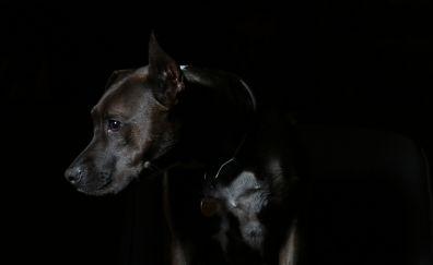 Black dog , muzzle, looking down, animal