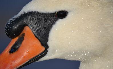 Swan bird, muzzle, beak, eyes