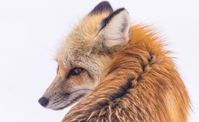 Beautiful animal, red fox, animal, winter