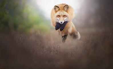 Fox animal, wild animal, jump, blur
