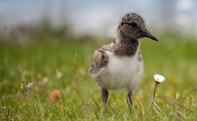 Oystercatcher, bird, grass field