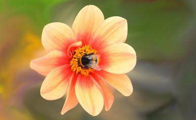Dahlia flower, blossom, bee