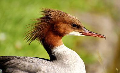 Greater Mergansers, duck, bird