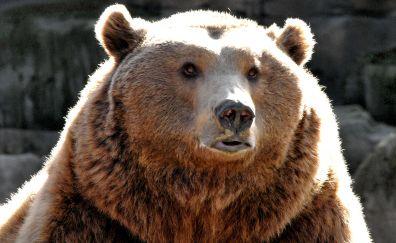 Big fat Bear, predator, muzzle