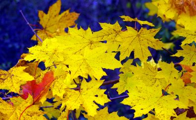Maple's yellow leaves in autumn